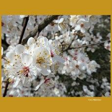 De foto's van de bloei dateren van eergisteren,om precies te zijn 25-2-2020. Het weer was gisteren 26-2 met de natte sneeuwbuien 'n dag en nacht verschil.