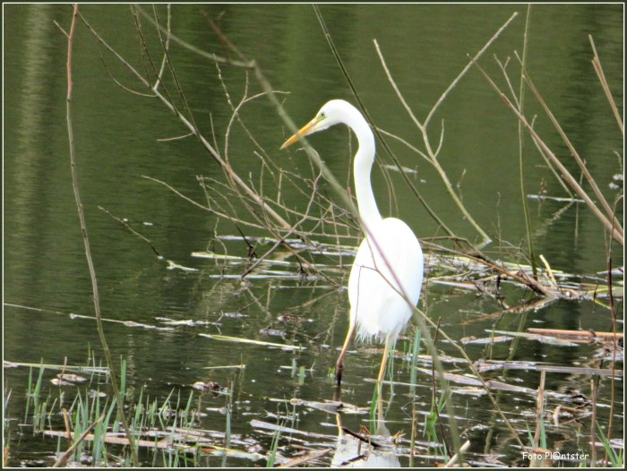 IMG_4789 Witte reiger