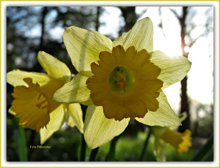 IMG_6582 Narcis