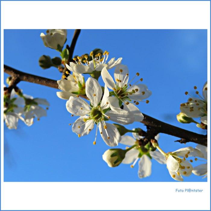 IMG_7399 Witte bloesem