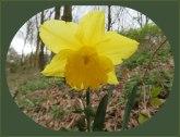 De narcis noemt men ook Paasbloem.Het mooi ervan, als voorjaarsbloem met vooruitzichten op Pasen