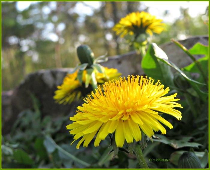 IMG_9622 Volop in bloei