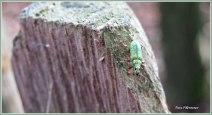 Groen kruipend