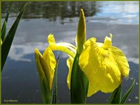 Gele lelie bij het water