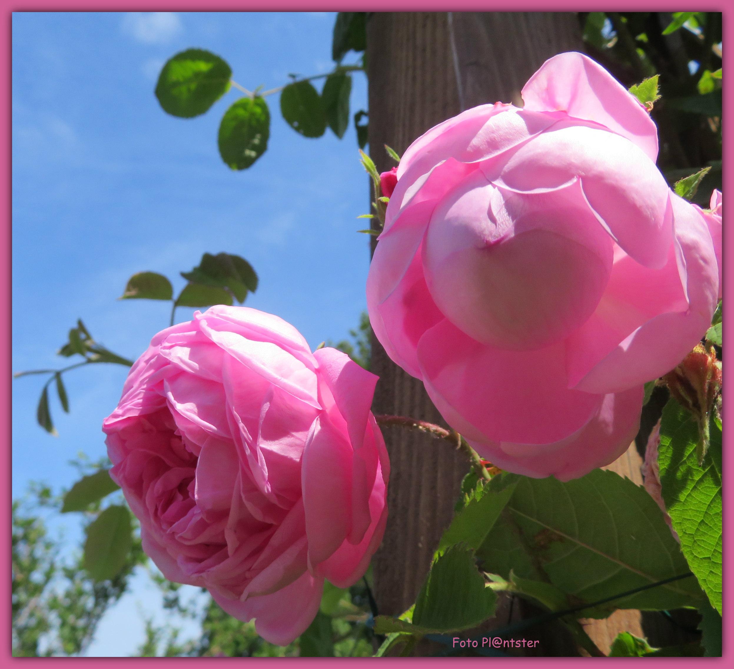 IMG_0155 Heerlijk geurende roos