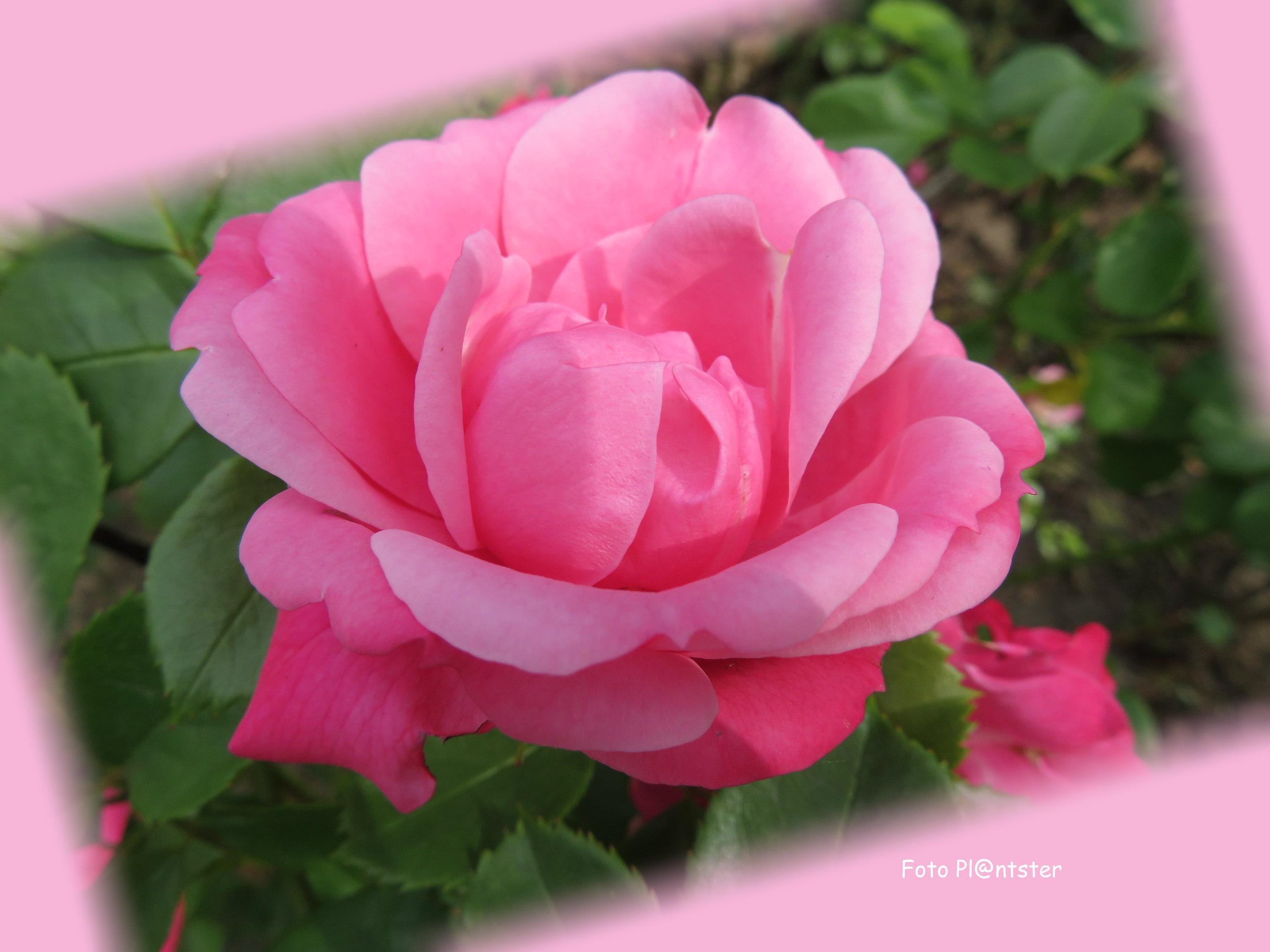 IMG_5985 Ik geef jou 'n roos