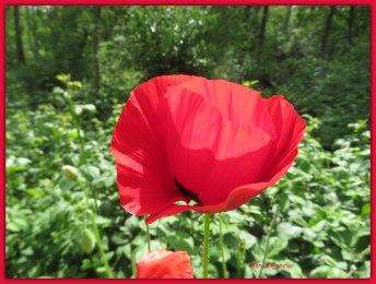 Het was de opvallende kleur van de rode klaproos in weelderige groei , die mij deed opvallen