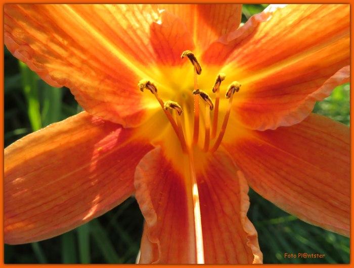 Lelie bloeit volop