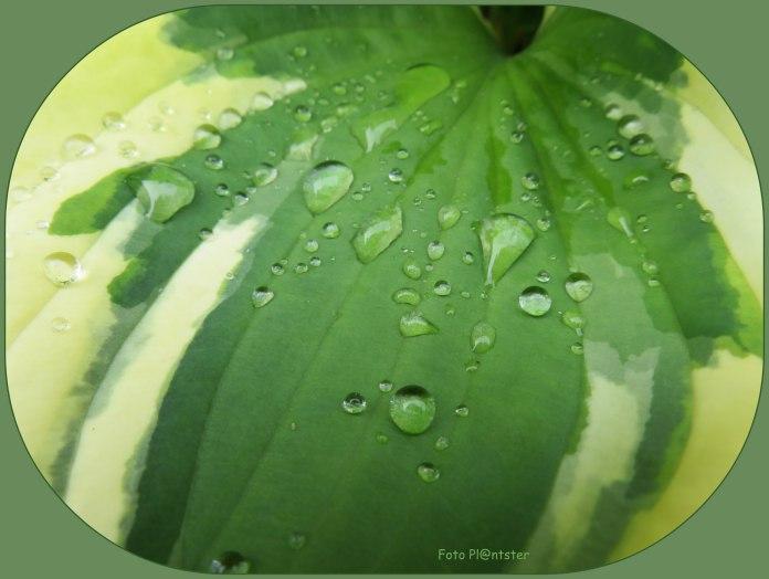 Regendruppels op hosta blad