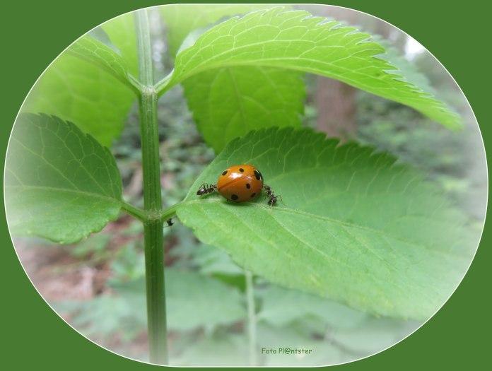 De mieren zijn geen beste vrienden met de Lieveheersbeestjes.. Mieren beschermen de bladluizen omdat die een zoete vloeistof afscheiden waar zij verzot op zijn.