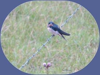 Jonge zwaluw op prikkeldraad