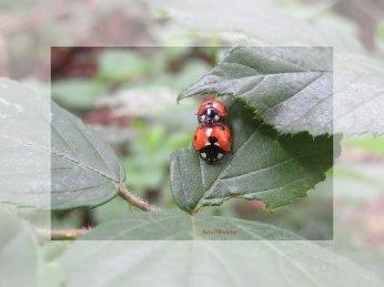 Bij het lieveheersbeestje ziet men bijna geen verschil tussen het mannetje en het vrouwtje. Meestal is het mannetje iets kleiner.Bij de paring zie je wie het mannetje is ....,deze klimt op de rug van het vrouwtje