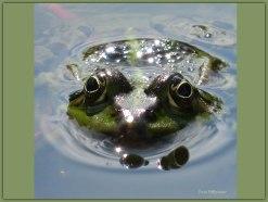 Waterpareltjes schitteren in de zon ,daarbij een kikker schitterend naar je kijkt.zo zie je soms meer dan je verwacht.