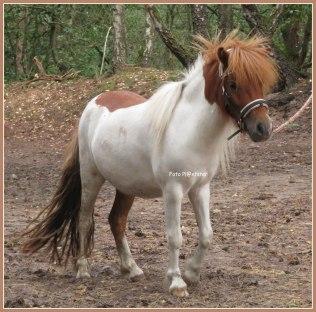 Jonge pony