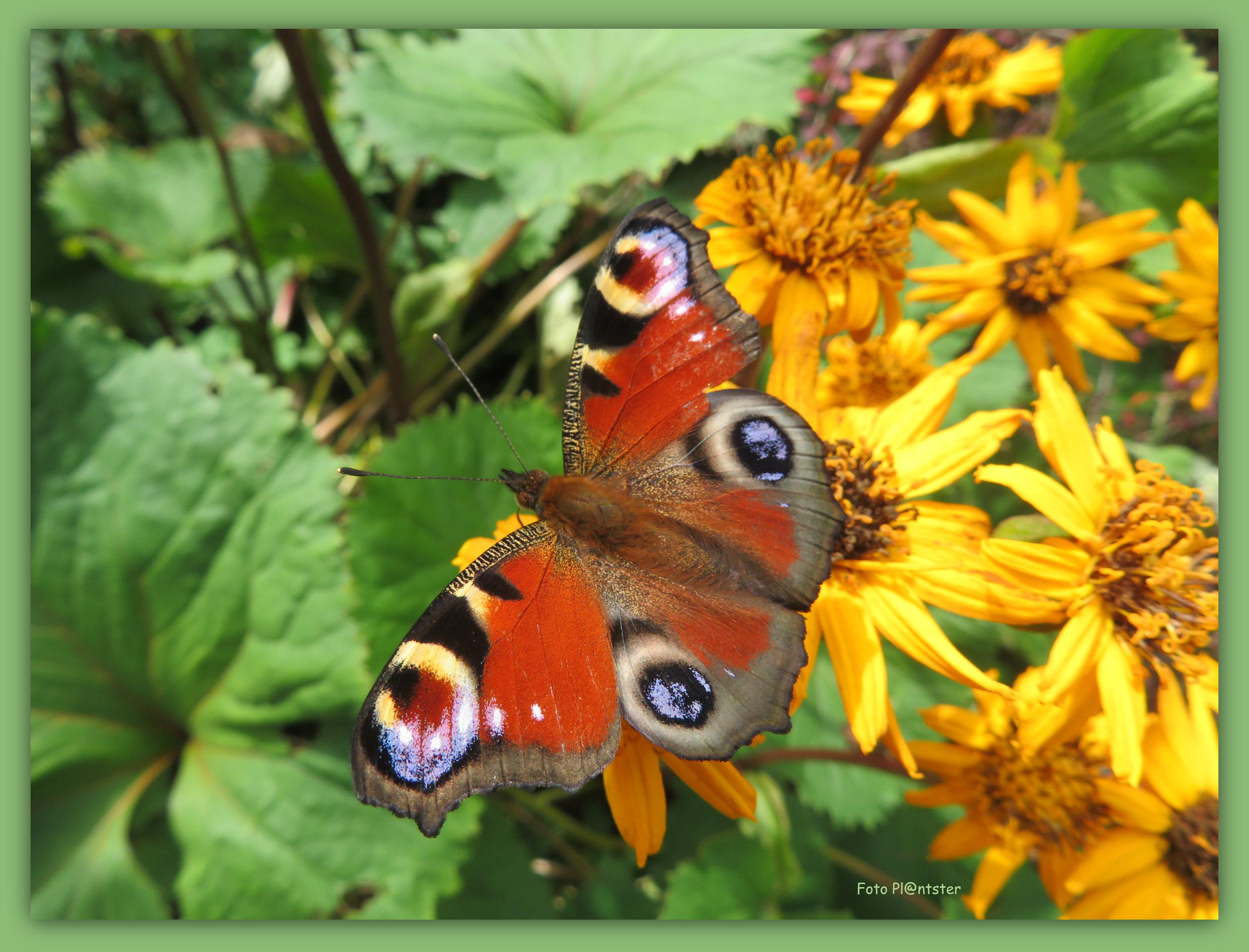 IMG_0671 Vlinder pracht
