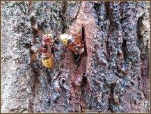 Hier zie je twee hoornaars in hun hoedanigheid op een boomstam