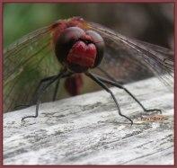 Rode libelle 3-9-2020, in de namiddag, waarbij ik plaats nam op dezelfde bank