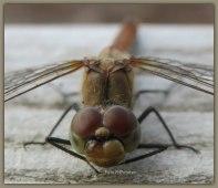 Libelle.....,in ogenschouw