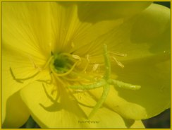 De kern..., waar het omdraait.....,, 't kruisvormige stempel. De stamper steekt wat meer uit deze bloem om zelfbestuiving te voorkomen