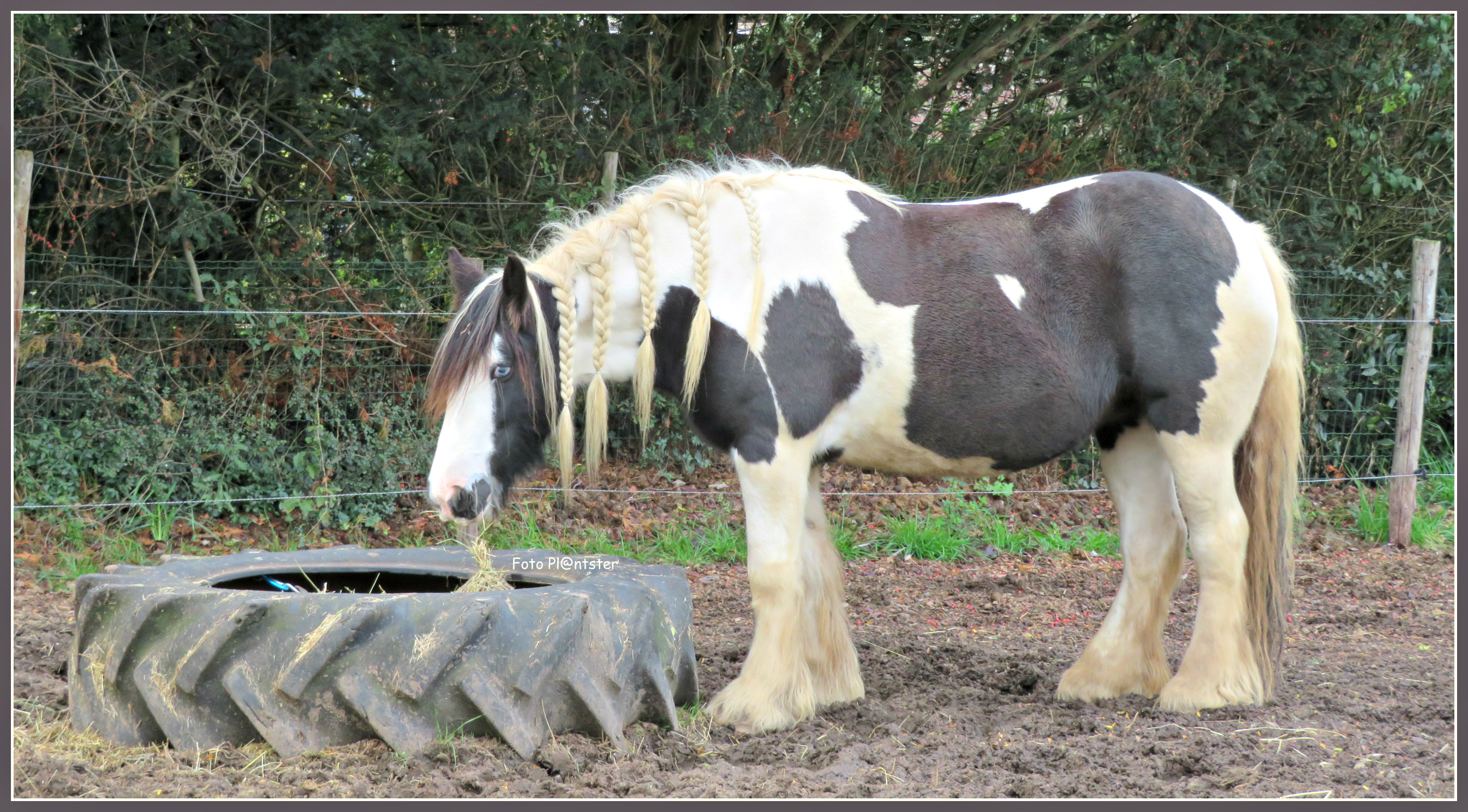 IMG_0174 Irisch Tinker Paard