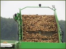 Aardappelen op transportband