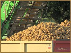 De gerooide aardappelen in de kiepwagen om te worden vervoerd