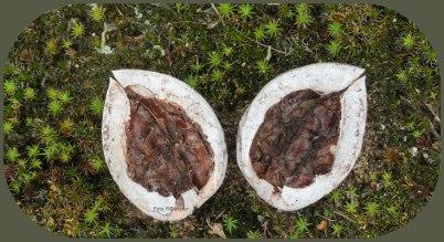 Zoals deze walnoot in twee helften in de natuur er al lag , een ver gelijkenis als twee oren. Foto 18-09-2020