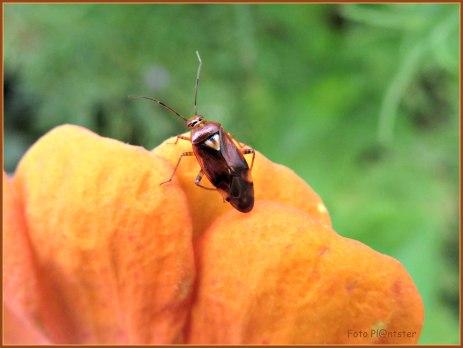 Als kleiner soort ,'n bruine wants op eenjarige bloem in de tuin te hebben opgemerkt ,dit was drie dagen geleden ,te weten 5-10-2020