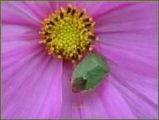 In de kern van eenjarige bloem ,daarin deze groene schildwants te hebben opgemerkt