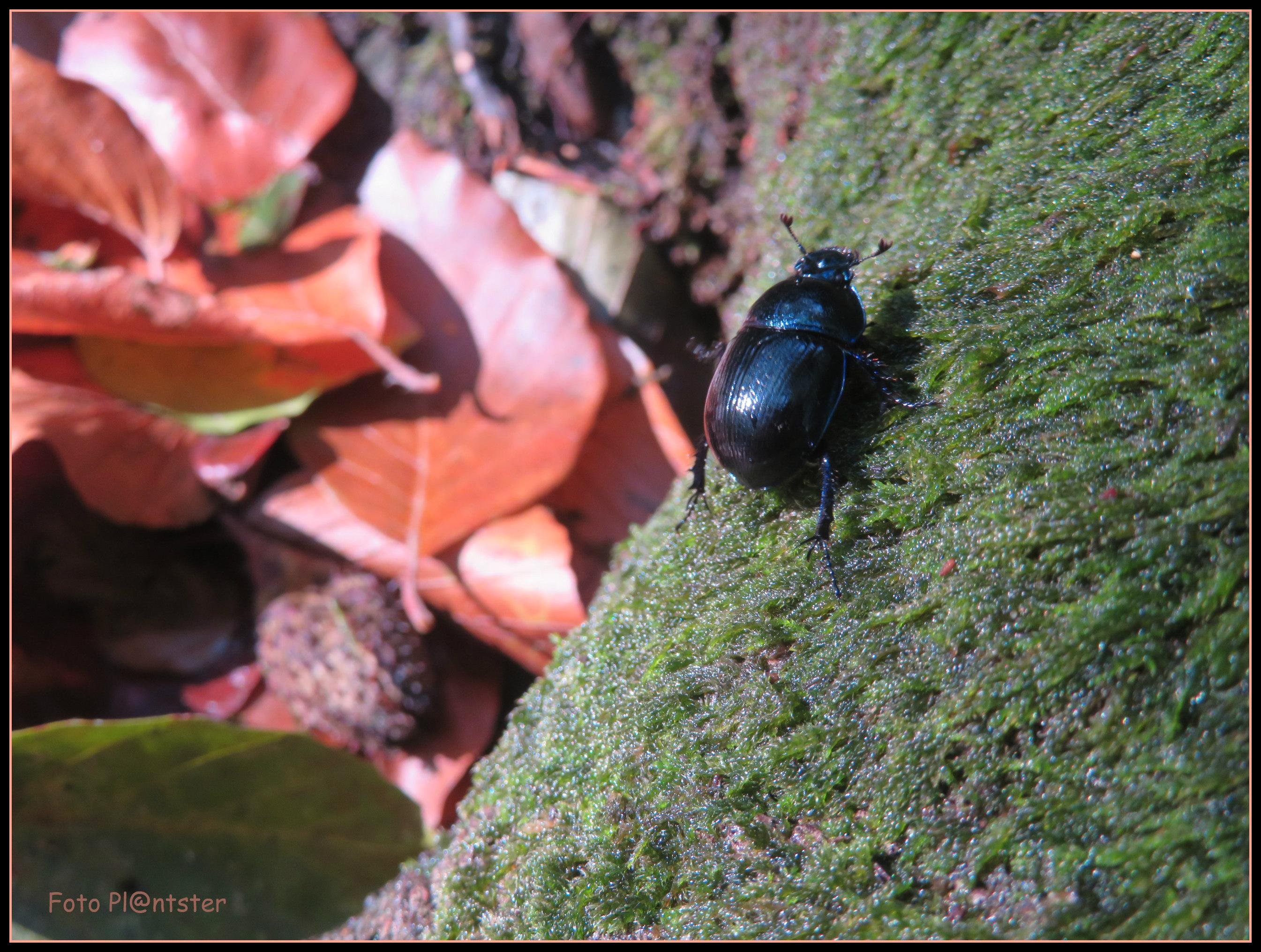 IMG_9071 Zwarte kever