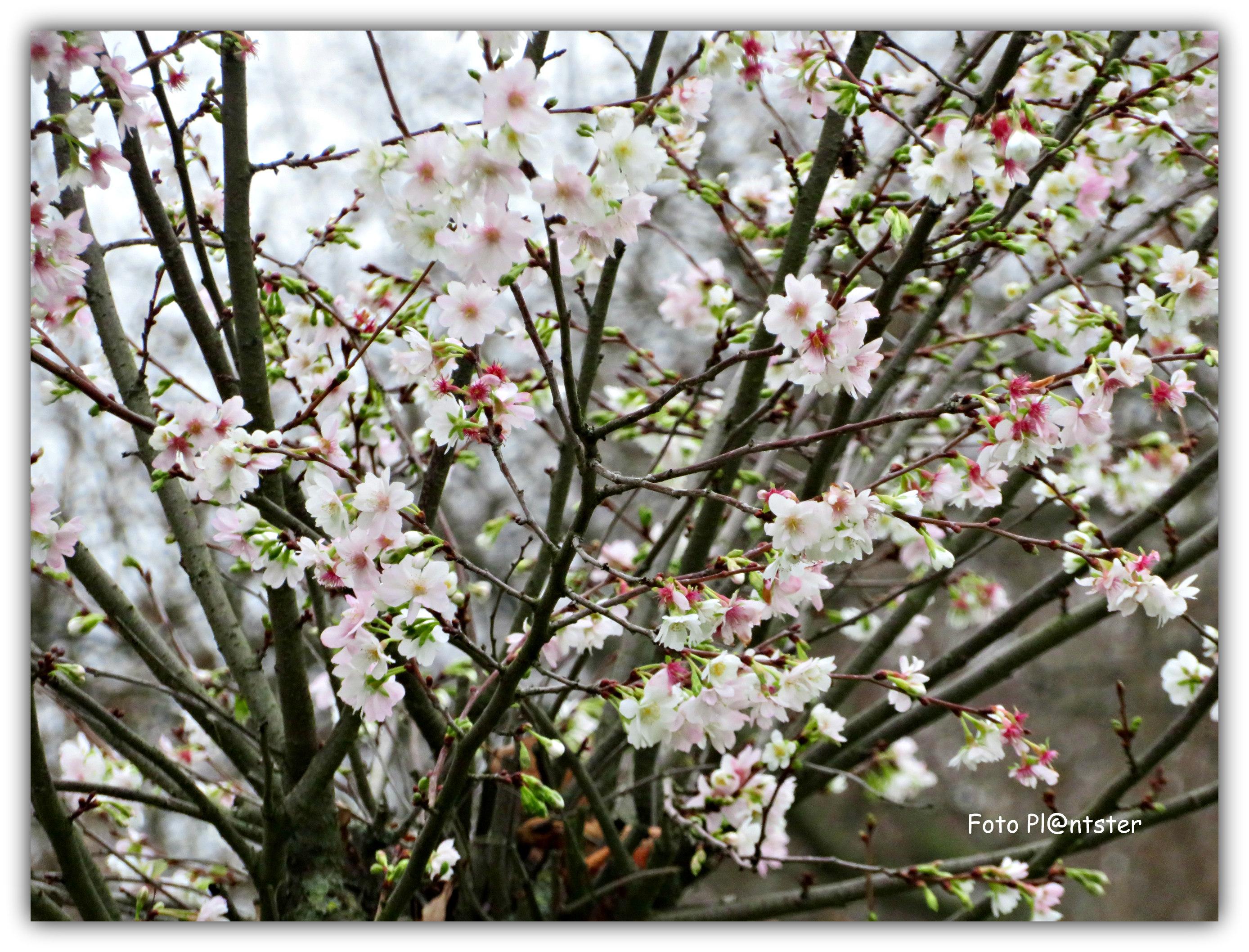 IMG_4649 In de bloei