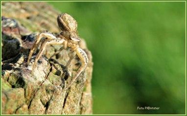 Aangezien 'n zonnige herfstdag ,met het aanzien van deze spin op 'n weidepaal.