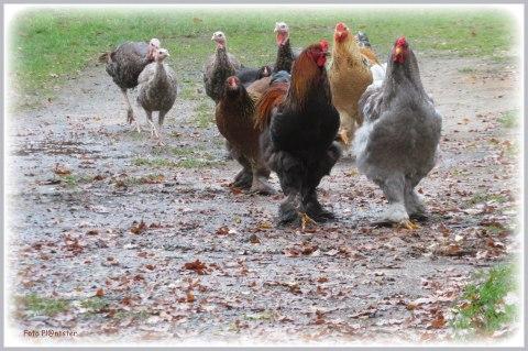 Al wandelend en niet mensenschuw 'n scharrelend kip /kalkoengroepje