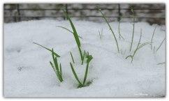 Grassprieten komen door de sneeuw