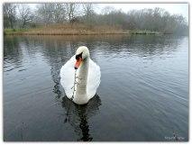 Deze witte zwaan kwam even dichterbij om daarna zich weer bij de andere 4 zwanen te voegen