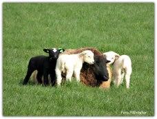 Vertederend om te zien , de kleintjes bij moeder schaap