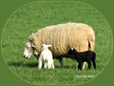 Onder onsje ,moeder schaap met lammetjes