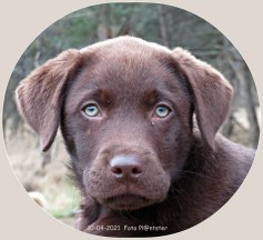 Labrador pup Max, met open blik een mooi ogenblik.