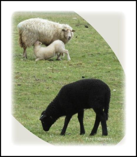 Terwijl ik de hond uitliet ,liep ik bij 'n kudde grazende schapen met hun lammetjes uit ,waarvan één zwart .