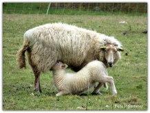 Moeder schaap met haar jong