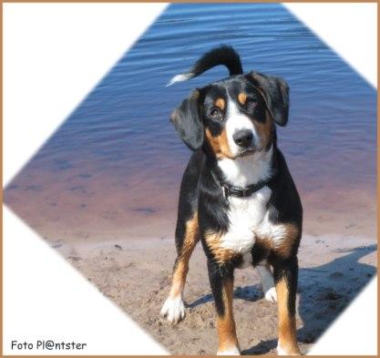 Farah 'n entlebucher sennenhond van ongeveer een jaar.