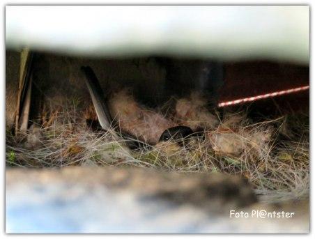 Een broedend vogeltje op haar nest, gezien door opening van betreffende brievenbus.