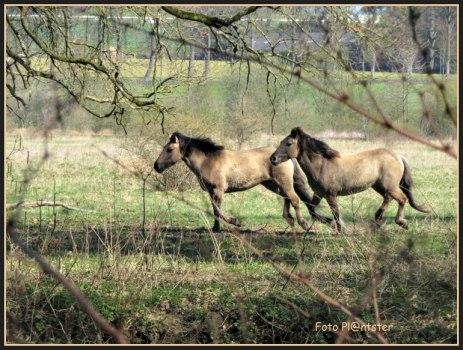 Vanuit het wandelpad tussen de struiken door, mocht ik even een glimp opvangen van deze Konik paarden ,met de betiteling wilde paarden. Zij haastten zich naar een stromend water.