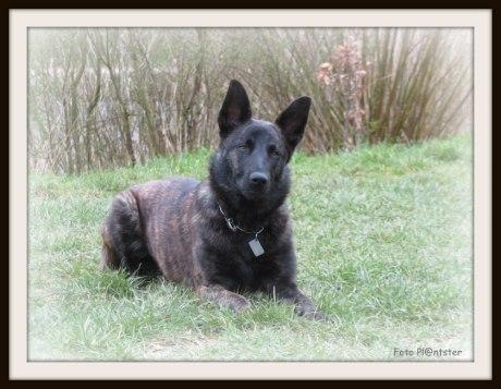 Hollandse herdershond behoort tot de Nederlandse hondenrassen.