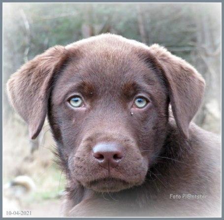 Labrador pup van 'n aantal weken met de toekomst voor zich.