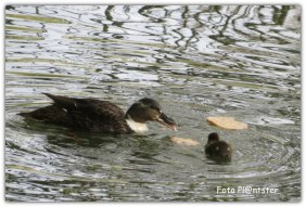 Zwemmende eendjes bij doordrenkend brood
