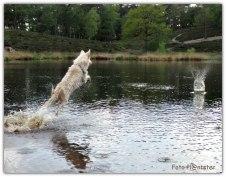 Met grote sprongen in het water.