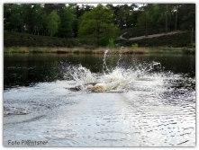 Met 'n flinke plons in het water maakte de witte herdershond een bommetje.