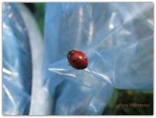 Lieveheersbeestje op de plastic bermafvalzak , terwijl ik bloemen fotografeerde,