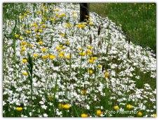 Het fleurige van het wit met het geel in de berm